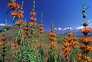 Leonotis leonurus - known by many common names: wild dagga, narrow-leafed Minaret Flower, Lion's Ear and Lion's Tail - on the slopes of Mike's Pass, with the Horns, Bell and Cathedral Peak outlined by clouds beyond.  Northern Drakensberg.  Ukhahlamba-Drakensberg Park, KwaZulu-Natal, South Africa.  Nikon F100, 20/2.8D.  Fuji RVP.  28 April 2004.