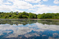Long Island, New York, Lotus Lake. View across the lake with reflection of sky and forest.
