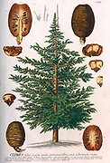 Coloured Copperplate engraving of a Cedrus (cedar) Tree from hortus nitidissimus by Christoph Jakob Trew (Nuremberg 1750-1792)