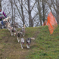 Competitor carries his injured dog in his sled during the FISTC Dog Cart European Championships in Venek (about 136 km Norht-West of capital city Budapest), Hungary on November 22, 2014. ATTILA VOLGYI
