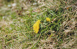 THEMENBILD - die gelben Blütenköpfe des Löwenzahn ragen aus dem Boden, aufgenommen am 05. März 2020 in Kaprun, Oesterreich // the yellow flower heads of the dandelion protrude from the ground, in Kaprun, Austria on 2020/03/05. EXPA Pictures © 2020, PhotoCredit: EXPA/Stefanie Oberhauser