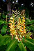 Kahili Ginger, Flower, Hawaii Volcanoes National Park, Island of Hawaii, Hawaii