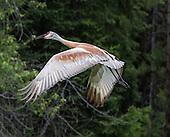 Sandhill Cranes in the Swan Valley
