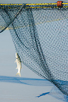 A harder hangs in the net of trek-net fishers, Strandfontein beach, False Bay, Cape Town, Western Cape, South Africa