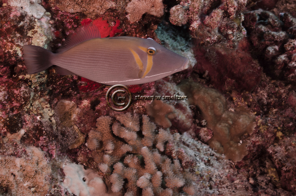 Lei Triggerfish, Sufflamen bursa, humuhumu, (Bloch & Schneider, 1801), Maui Hawaii
