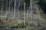 A forest landscape where spruce trees have been badly affected by the European spruce beetle, in Dolina Chocholowska a hiking route in the Polish Tatra mountains, on 17th September 2019, near Zakopane, Malopolska, Poland.The European spruce beetle (Ips typographus) is one of 116 bark beetles species in Poland which is killing thousands of spruces. The insect's population can grow rapidly via wind and snow etc. which eventually leaves a gap in the landscape, thereby changing the forest floor's ecology.