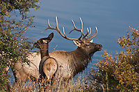 Rocky Mountain Elk (Cervus elaphus) Bull and cow elk during the rut.  Colorado.