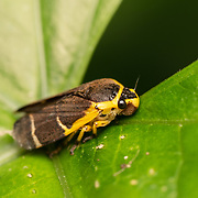 The froghoppers, or the superfamily Cercopoidea, are a group of hemipteran insects in the suborder Auchenorrhyncha. Adults are capable of jumping many times their height and length, giving the group their common name, but they are best known for their plant-sucking nymphs which encase themselves in foam.