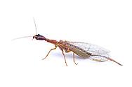 Snakefly (Agulla sp.)<br /> CALIFORNIA: Monterey Co.<br /> Hastings Biological Preserve<br /> 8-May-2015<br /> J.C. Abbott &amp; K.K. Abbott
