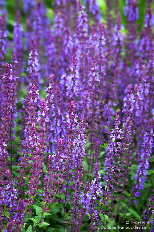 Salvia nemorosa 'East Friesland' syn. Salvia nemorosa 'Ostfriesland'. Purple Sage