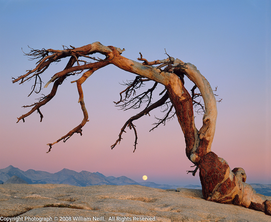 Jeffrey Pine and Moon, Yosemite National Park, California