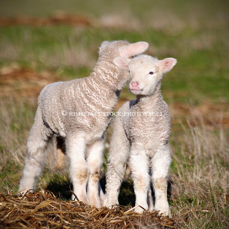 Newborn lambs standing in a paddock in Tasmania's northern midlands.