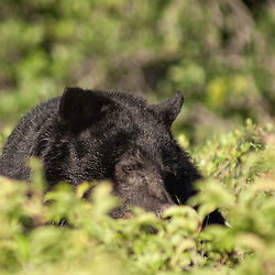 A black bear with a black furred muzzle in thick brush.