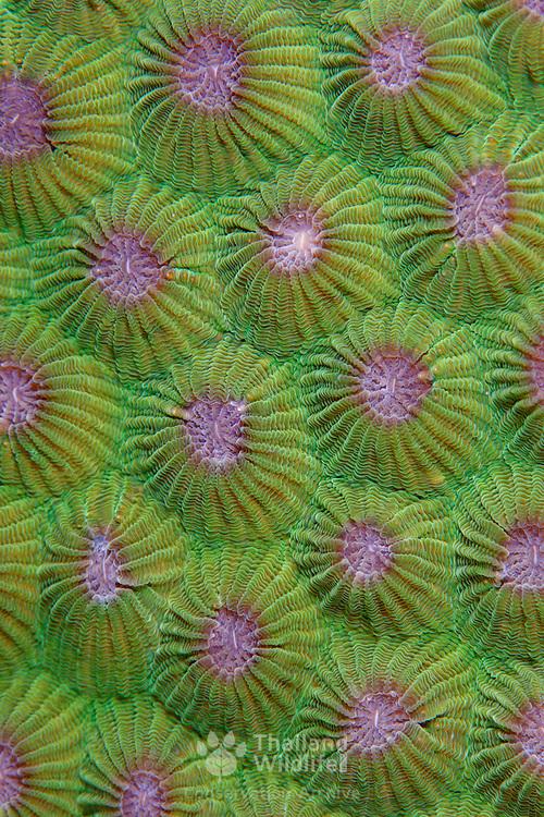 Closeup of Diploastrea heliopora coral at Maratua Island, Kalimantan, Indonesia.