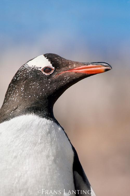Gentoo penguin, Pygoscelis papua, Falkland Islands
