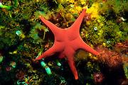 UNDERWATER MARINE LIFE EAST PACIFIC: Northeast SEA STARS: Sea star Mediaster aequalis