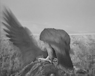 Adult female peregrine falcon has taken the prey offered by the male. Her wing and part of her body are visible as she turns without stopping to drop away and fly. [Motion activated camera triggered in the very early morning hours, augmenting visible light with infrared, recording in B&W. ] © 2015 David A. Ponton