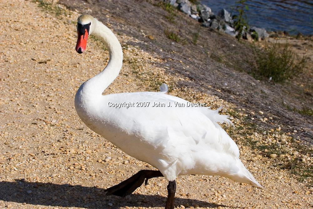 Mute Swan climbing up bank of marsh. Cape May, NJ, USA