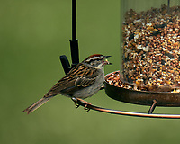 Chipping Sparrow. Image taken with a Fuji X-T2 camera and 100-400 mm OIS telephoto zoom lens