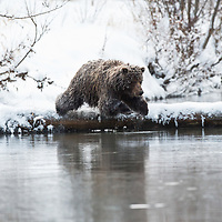 Four image action sequence of Grizzly bear diving from ice covered log into Fishing Branch River, near Bear Cave Mountain in the Yukon Territory, Canada.