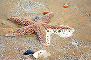 A starfish washed up on the beach of the Outer Banks NC.