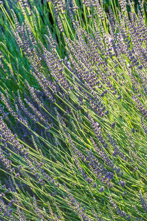 Flowers, Garden, Meeting House Lane, Amagansett, NY