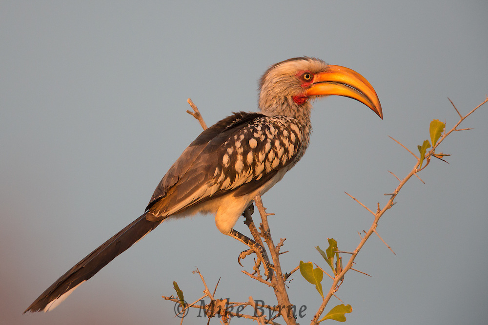 Yellow-billed hornbill at Okaukuejo, Namibia.