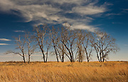A Winter view of agrove trees on the prairie, Quivera National Wildlife Refuge. Kansas