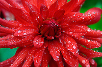 A bright red 'Dare Devil' dahlia in a summer rainstorm, Northeast Harbor, Maine.