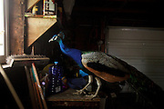 PEACOCK 072210<br />