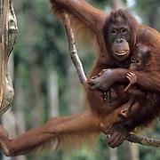 Orangutan, (Pongo pygmaeus) Mother and baby on hanging vine  eating bananas in rain forest. Northern Borneo. Malaysia