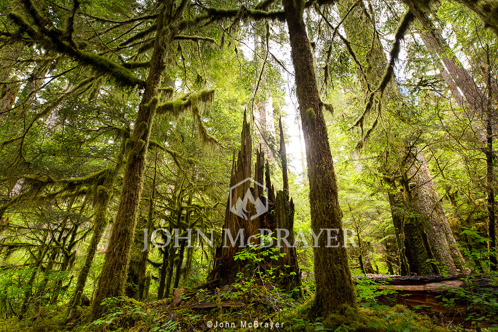 The remains of a once towering tree in the old growth forests of Olympic National Park. © John McBrayer