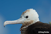 juvenile great frigatebird, 'iwa, or iwa bird, Fregata minor, close-up of head, East Island, French Frigate Shoals, Papahanaumokuakea Marine National Monument, Northwest Hawaiian Islands, Hawaii ( Central Pacific Ocean )