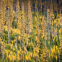 larch forest fall, glacier national park, fall colors,