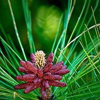 Pine Tree Flower