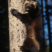 Wolverine, (Gulo gulo) Adult. Rocky mountains.  Captive Animal.