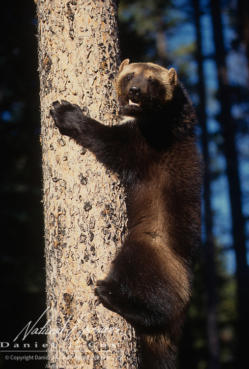 Wolverine, (Gulo gulo) Adult. Rocky mountains.  Captive Animal.