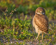 Juvenile burrowing owl stands alertly on the ground, head turned backward on articulate neck to look behind ,© 2011 David A. Ponton