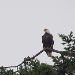 Bald Eagle (Haliaeetus leucocephalus), Stuart Island, San Juan Islands, Washington, US