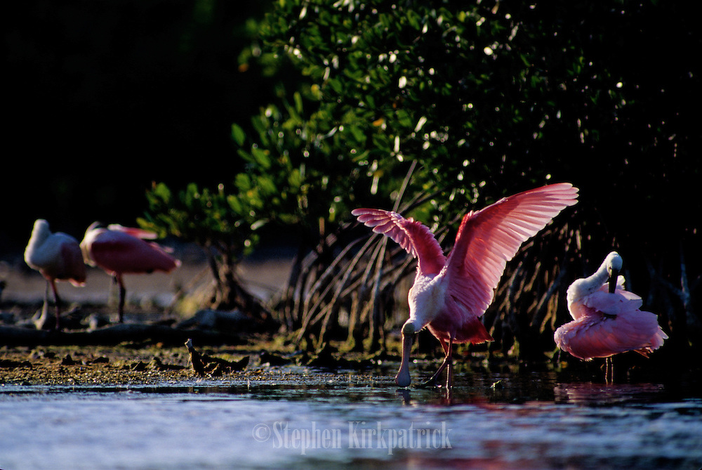 Roseate Spoonbills preening in a mangrove swamp - Florida.