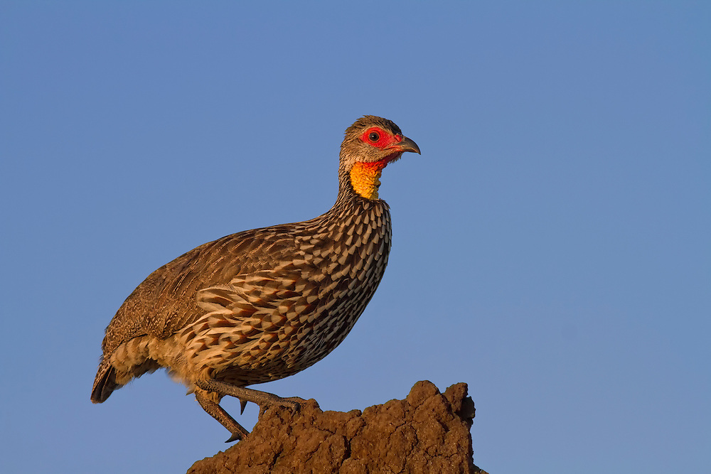 Yellow-necked Spurfowl or Yellow-necked Francolin (Pternistis leucoscepus) standing on a rock at sunrise, Tarangire National Park, Tanzania