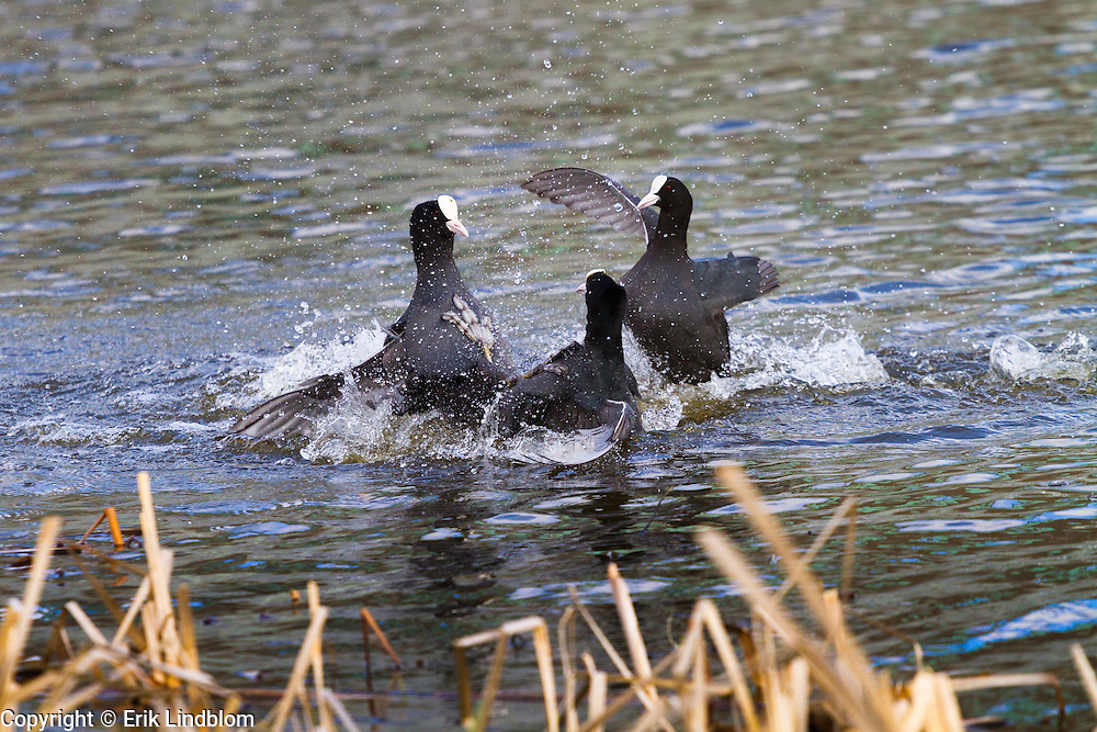 Coots fighting at lake Hornborga.