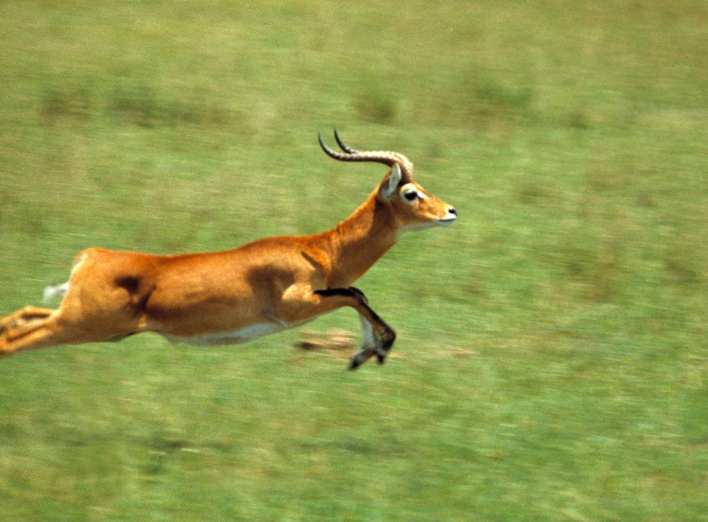 This Uganda kob bounds to safety in Murchison Falls National Park, Uganda.