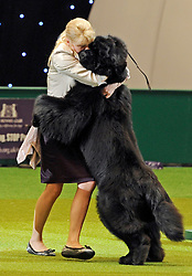 © Licensed to London News Pictures. 11/03/2012. Brutus the Newfoundland jumps up and hugs his owner after winning the Reserve Best in Show at the 2012 Crufts Dog show in the Birmingham NEC Arena.  Photo credit: Alison Baskerville/LNP