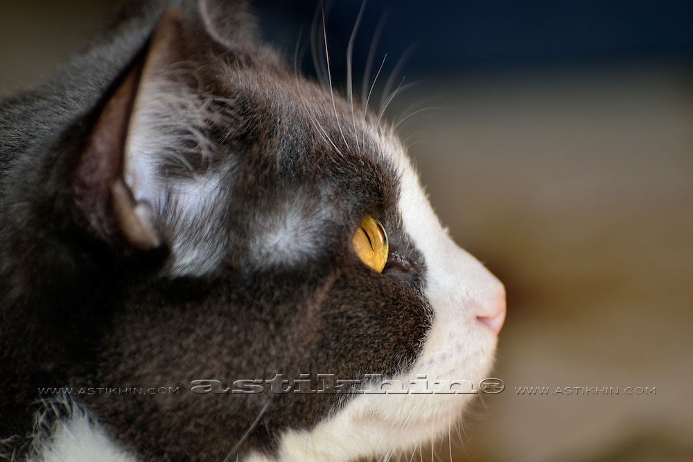 Cat Tabasca with Golden eye.