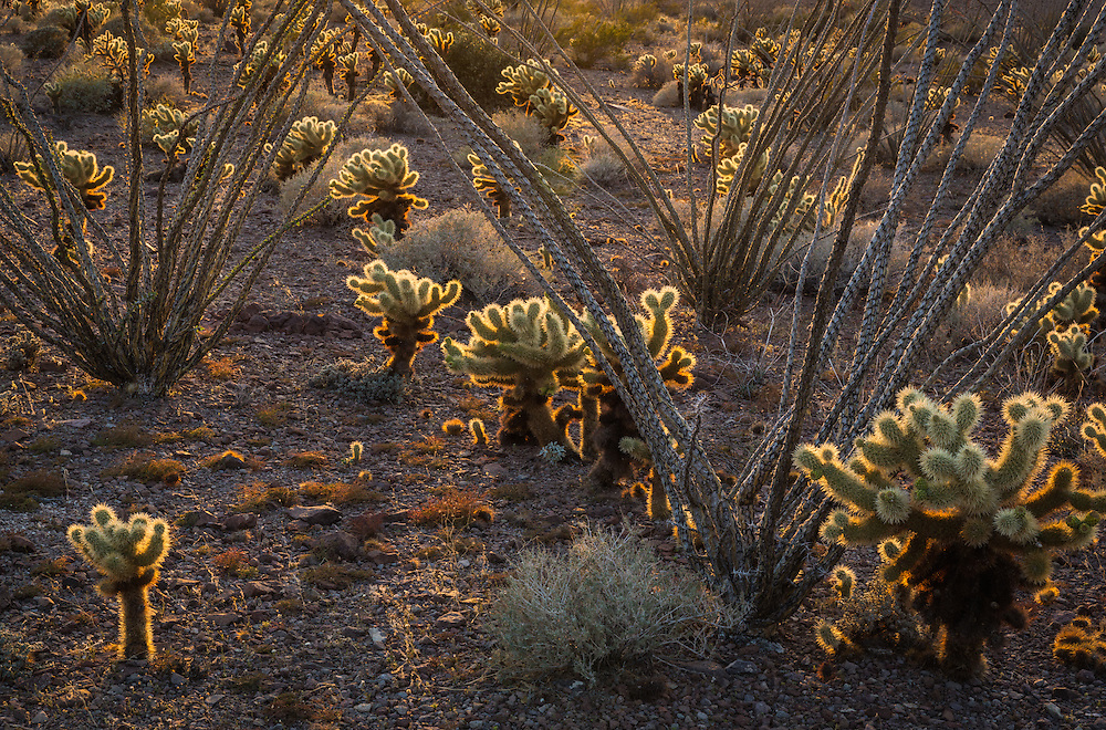 intimate scene of teddy bear cholla and ocotillo catching the last light of the day, kofa mountains, Arizona