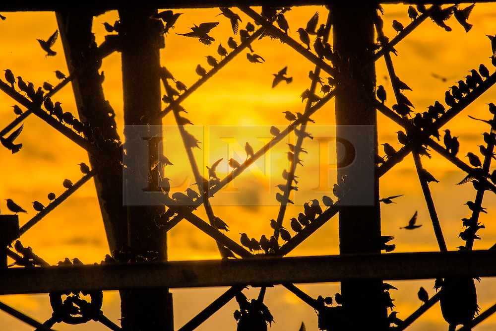 © Licensed to London News Pictures. 2/03/2017. Aberystwyth, Wales, UK. Starlings over Aberystwyth pier, Wales. As the sun sets on the end of a breezy and blustery day in west Wales,  tens of thousand of  tiny starlings fly in to crowd together for warmth,  and to roost safely for the night on the cast iron legs underneath Aberystwyth's Victorian seaside pier. Despite being still  plentiful in Aberystwyth, the birds are in the Royal Society for the Protection of Birds 'red list' of at risk species, with their numbers across the UK  declining by over 60% since the 1970's. Photo credit: Keith Morris/LNP
