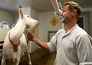 BLOOMSDALE, Mo. &ndash; OCT. 8, 2015: Steve Baetje, who with his wife Veronica Baetje owns and operates Baetje Farms LLC, grooms a goat while doing his daily milking at the farm in Bloomsdale, Mo., Thursday, Oct. 8, 2015. Goat cheeses made at Baetje Farms have won major national awards and the respect of cheese aficionados across the country.<br /> <br /> CREDIT: Sid Hastings for The New York Times