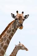 A female southern giraffe, Giraffa camelopardalis, looking at the camera.