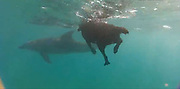 At least she can cross that off her bucket list! Adventurous dog swims with dolphins in adorable home video (and she didn't forget her lifejacket) <br /> <br /> A black labrador dubbed the 'dolphin spotter' has been filmed frolicking with a pod of dolphins in the Indian Ocean, off the coast of southern Mozambique. <br /> The adorable pup, Kira, chased after her sea friends in the underwater footage, captured by a group of ocean revelers.<br /> The dolphins seemed to accept the furry intruder and obligingly swam around the dog, who was eager to join the finned creatures as they slid gracefully through the water.<br /> <br /> Kira is shown donning a life jacket as she sits beside tourists in a dive boat.<br /> <br /> Once the dog spots a fin peeking up from the water, she jumps in to take part in the action. Fearlessly she advances toward the dolphins and they curiously swim circles around her.<br /> Eager as she is, Kira's four legs fail to carry her at the same speed as the smooth grey-skinned swimmers and she is left behind as the pod moves on.<br /> <br /> The canine's owner, Noleen Withers, runs the Somente Aqua Dolphin Centre in the tourist trap of Ponta do Ouro, near the South African border. <br /> Kira has 'a fond love for the ocean,' according to the centre's website and often accompanies dolphin watchers on holiday in the area.<br /> The maritime-loving pooch even as a dive boat named in her honor.<br /> ©Earth Touch/Exclusivepix